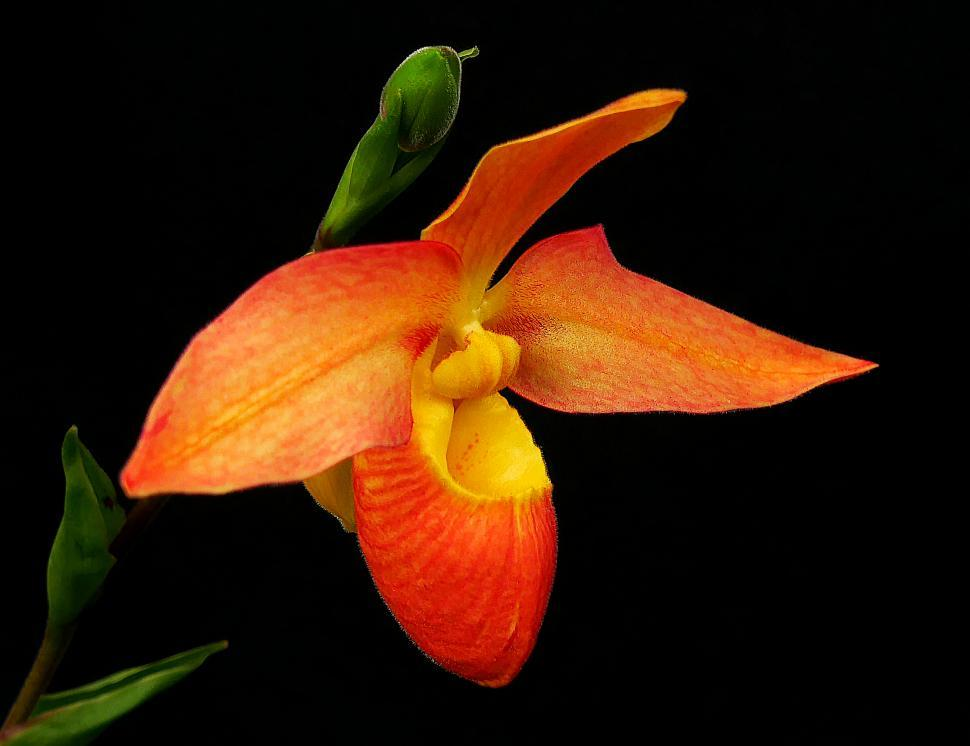 Download Free Stock HD Photo of Phragmipedium Orchid Red Flower Online