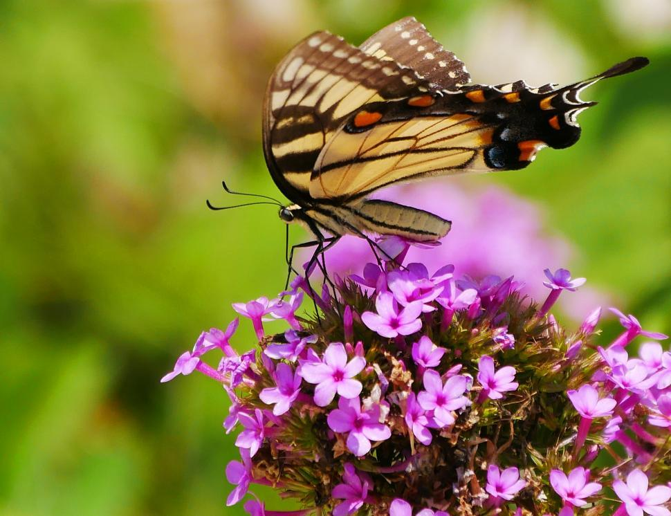 Download Free Stock HD Photo of Yellow and Black Swallowtail Butterfly Online