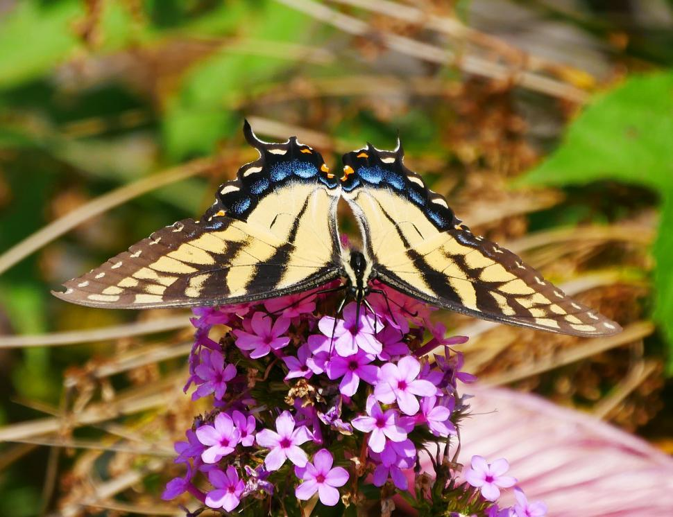 Download Free Stock HD Photo of Common Yellow Swallowtail Butterfly Feeding Online