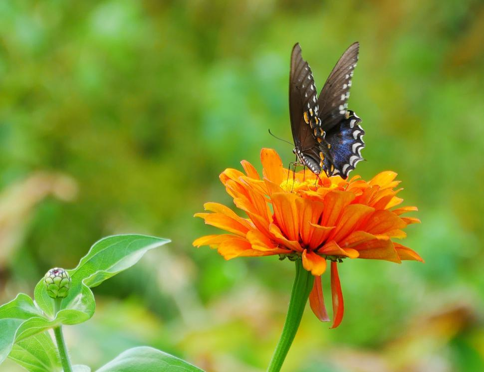 Download Free Stock HD Photo of American Swallowtail on a Zinnia Flower Online