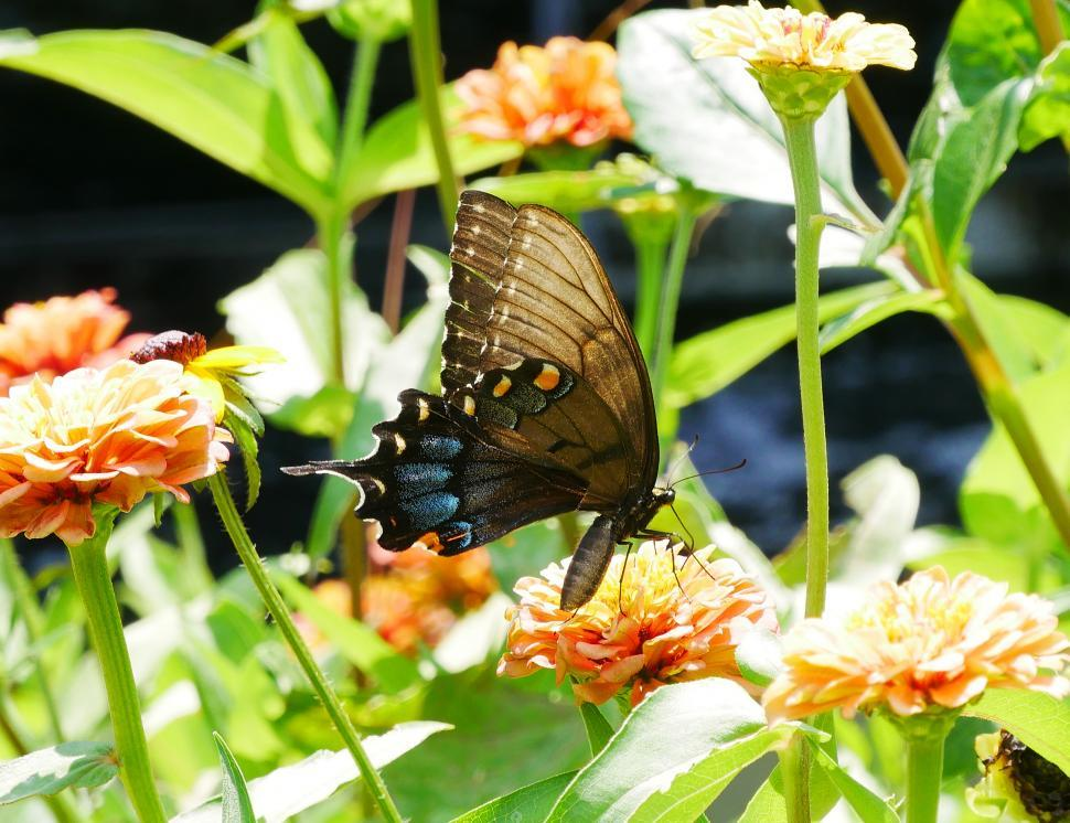 Download Free Stock HD Photo of Black Swallowtail Butterfly Lands on Zinnias Online