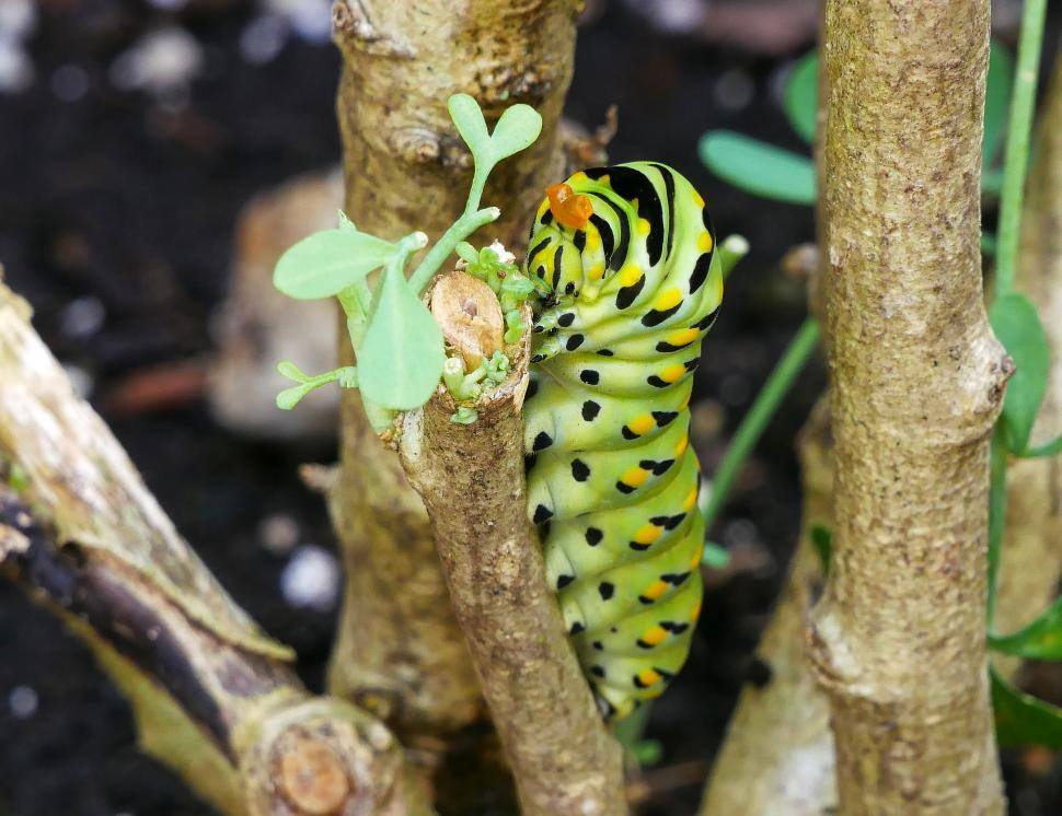 Download Free Stock HD Photo of Black Swallowtail Butterfly Caterpillar on Cut Branch Online