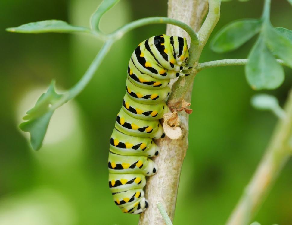 Download Free Stock HD Photo of Black Swallowtail Butterfly Caterpillar Online