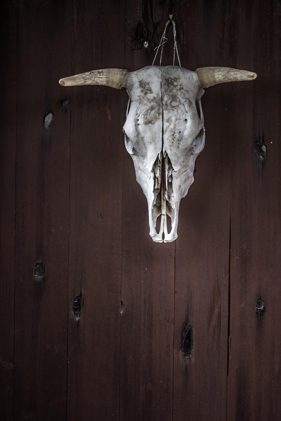 Download Free Stock HD Photo of Cow skull hanging on wood Online