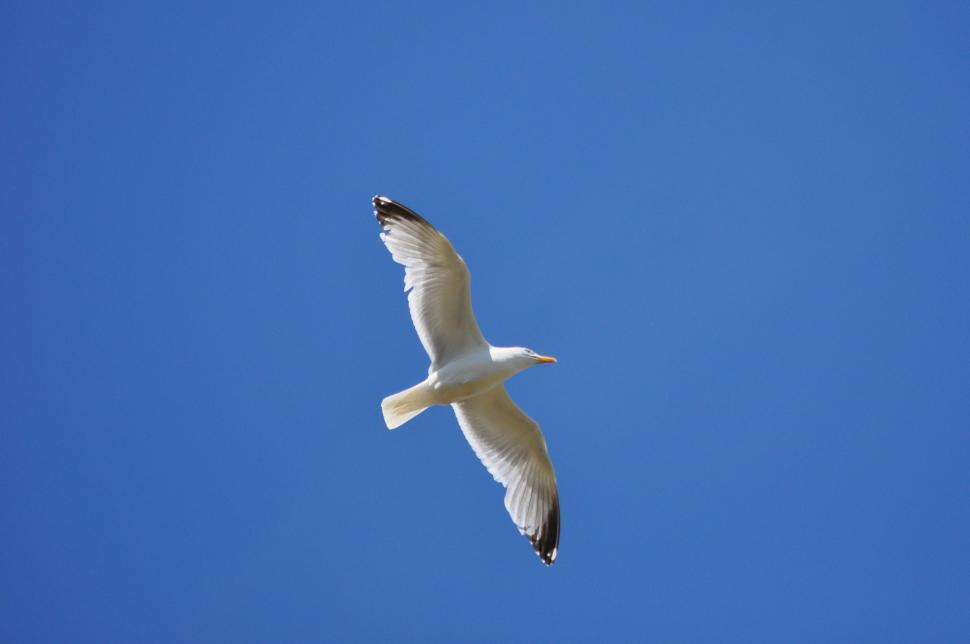 Download Free Stock HD Photo of Seagull in flight Whitstable Kent Online