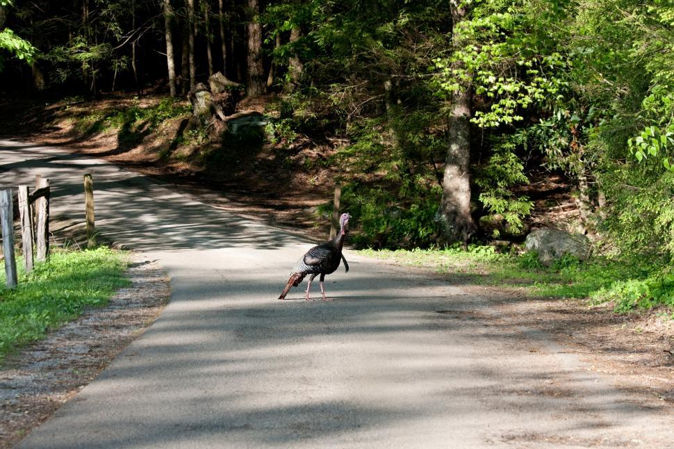 Download Free Stock HD Photo of Turkey crossing road Online
