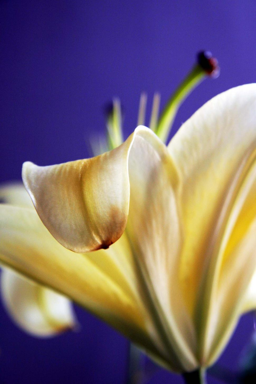 Download Free Stock HD Photo of Fresh lily flower Online