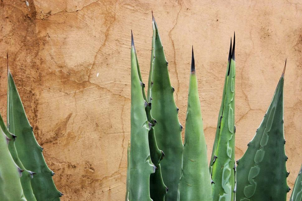 Download Free Stock HD Photo of Agave against stucco Online