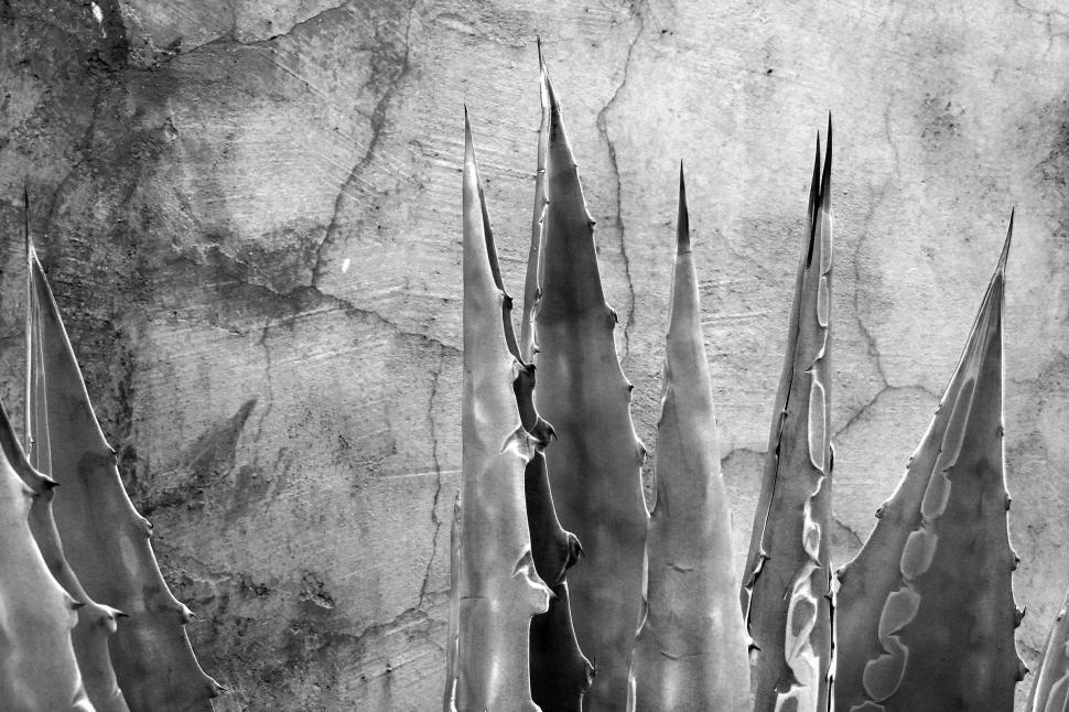 Download Free Stock HD Photo of Black and white of agave leaves Online