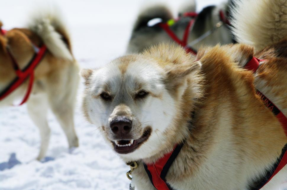 Download Free Stock HD Photo of huskies Online