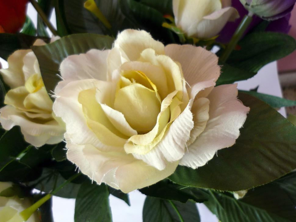 Download Free Stock HD Photo of White Rose Online