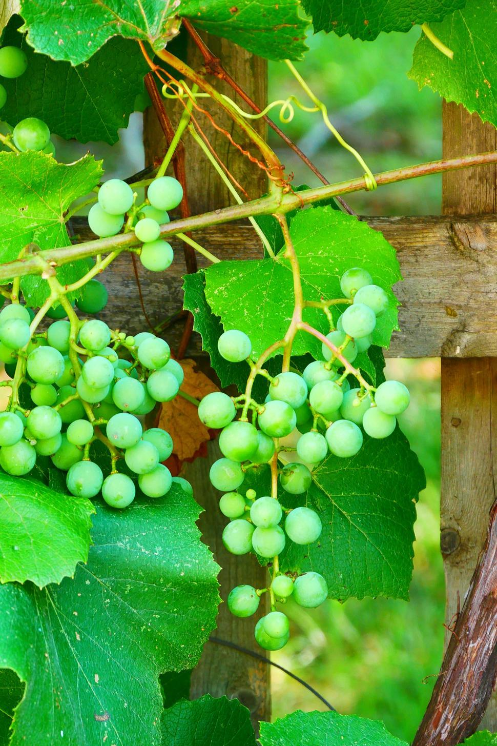 Download Free Stock HD Photo of Bunch Of Grapes on Wooden Trellis Online