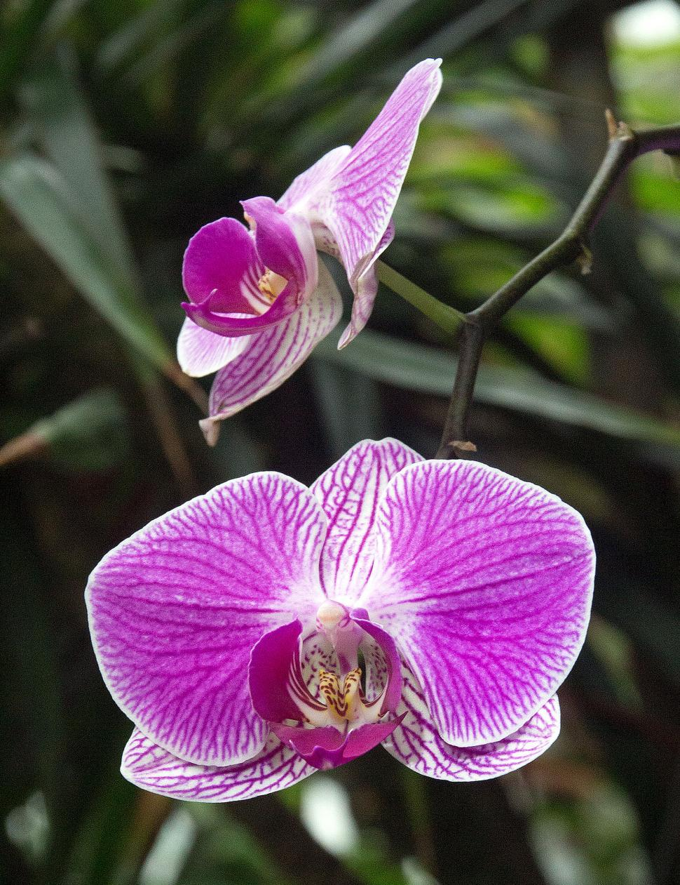 Get Free Stock Photos Of Moth Orchids In Bloom Online Download
