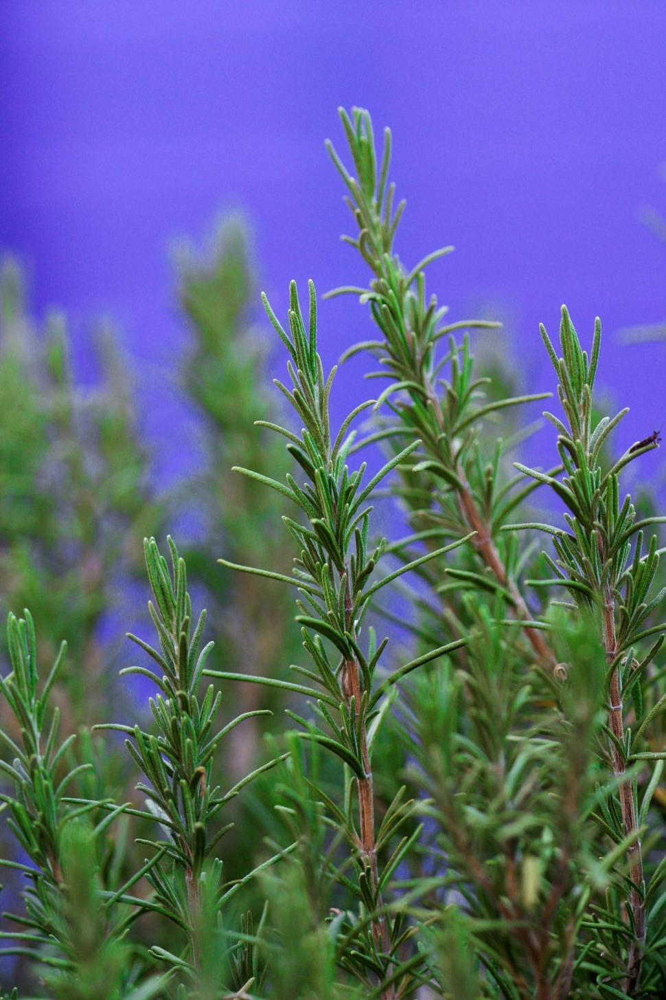 Download Free Stock HD Photo of Rosemary on Purple background Online