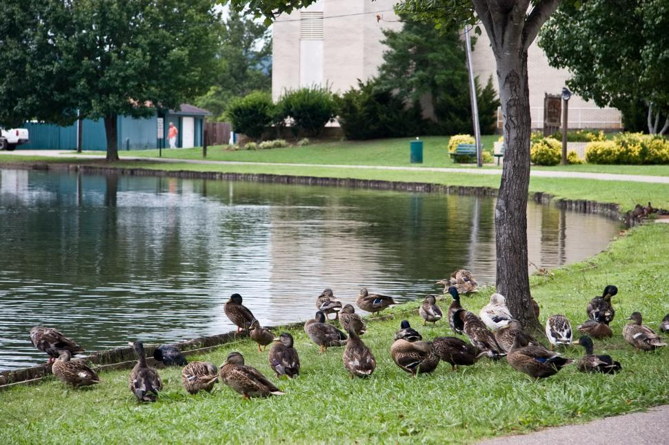 get free stock photos of lake with ducks online download