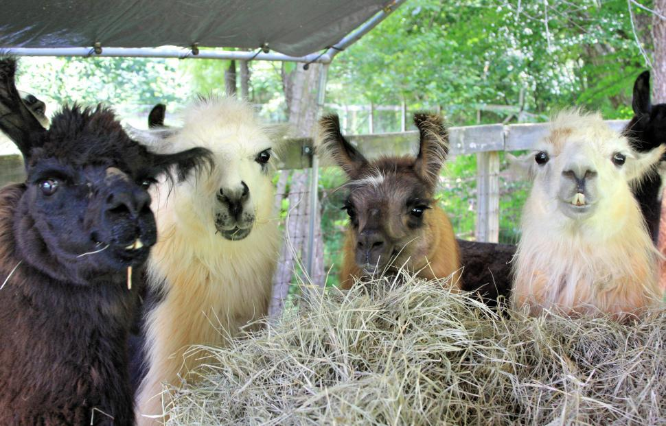 Download Free Stock HD Photo of Llama group grazing Online