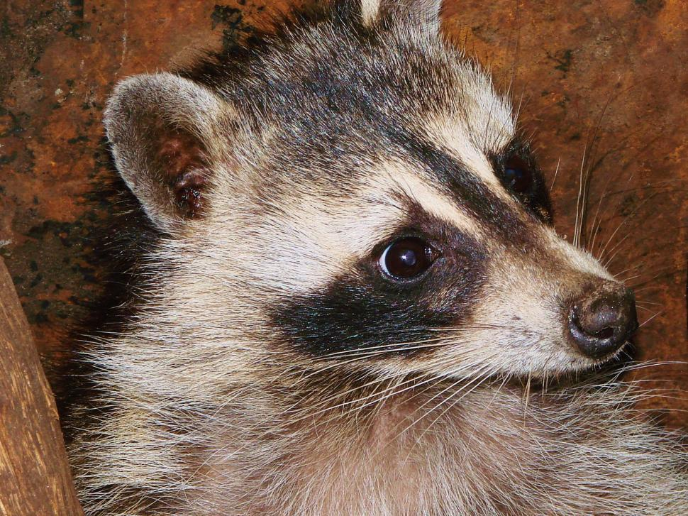 Download Free Stock HD Photo of Scared Racoon Online