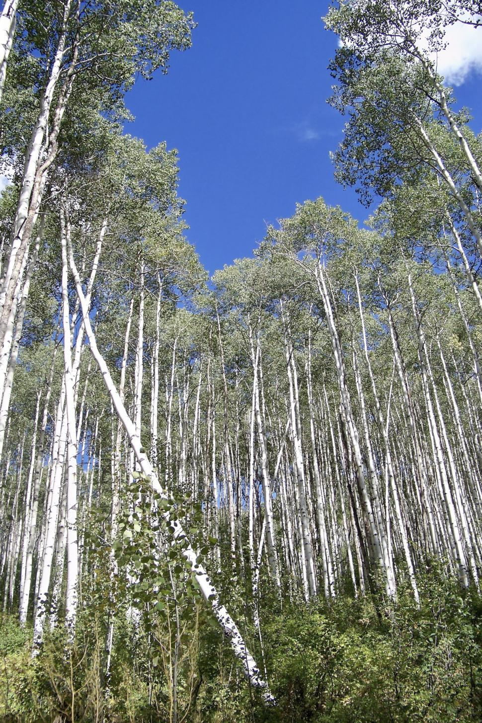 Download Free Stock HD Photo of aspen forest 3 Online
