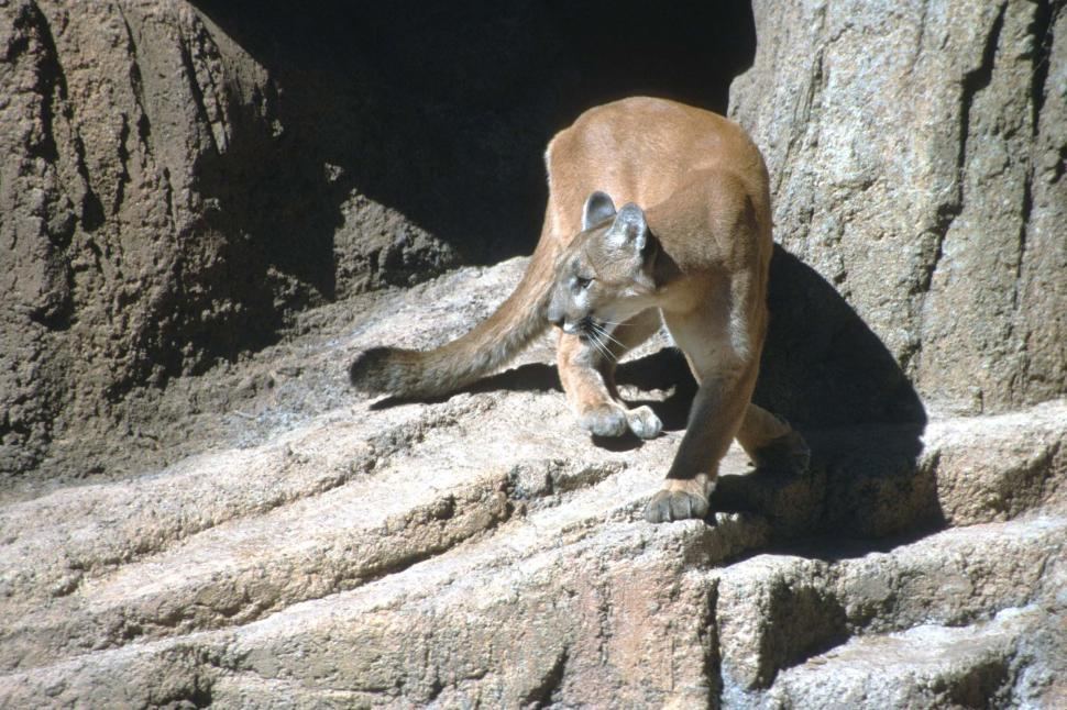 Download Free Stock HD Photo of Mountain Lion on the Prowl Online