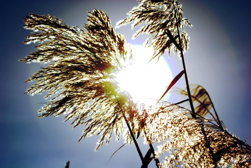 Download Free Stock HD Photo of Reed in the sun Online