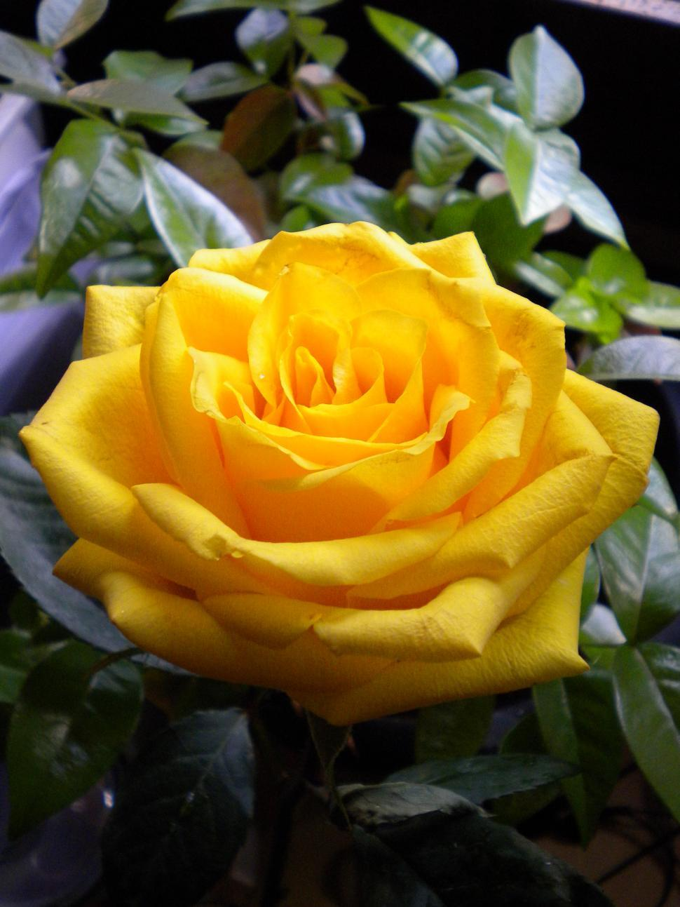 Download Free Stock HD Photo of yellow rose Online
