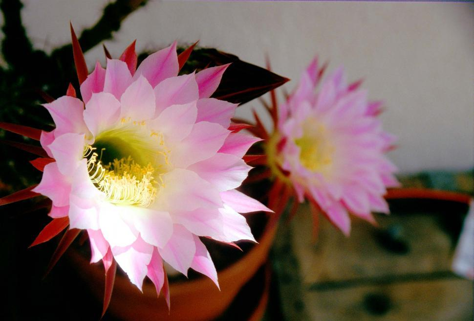 Download Free Stock HD Photo of Cactus blooms Online