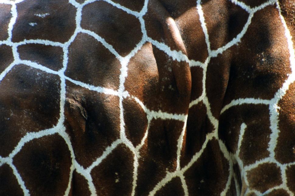Download Free Stock HD Photo of Giraffe skin pattern Online
