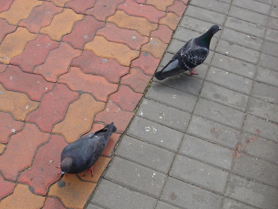 Free image of Pigeons on the market in Sibiu, Romania