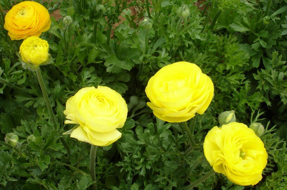 Download Free Stock HD Photo of Yellow Ranunculus Online