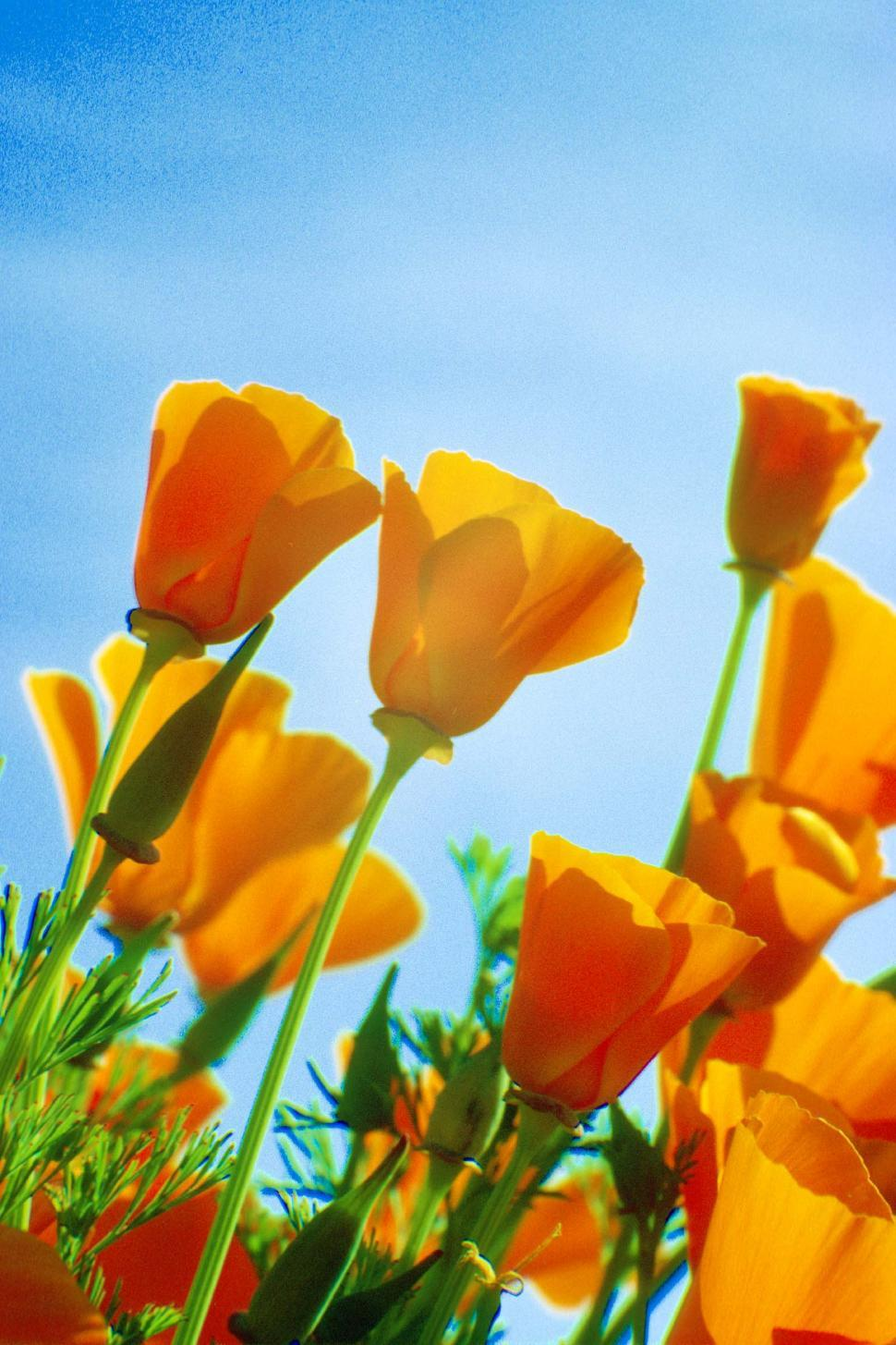 Download Free Stock HD Photo of California Poppies Online