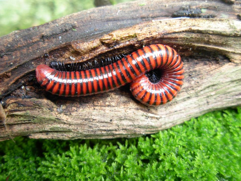 Download Free Stock HD Photo of Stripe Centipede Online