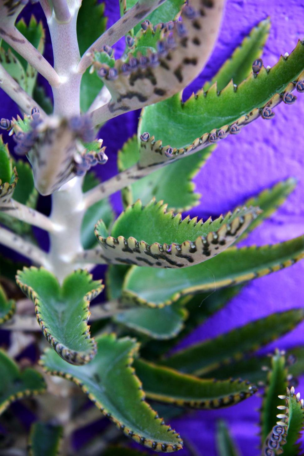 Get Free Stock Photos Of Mother Of Millions Plant Online
