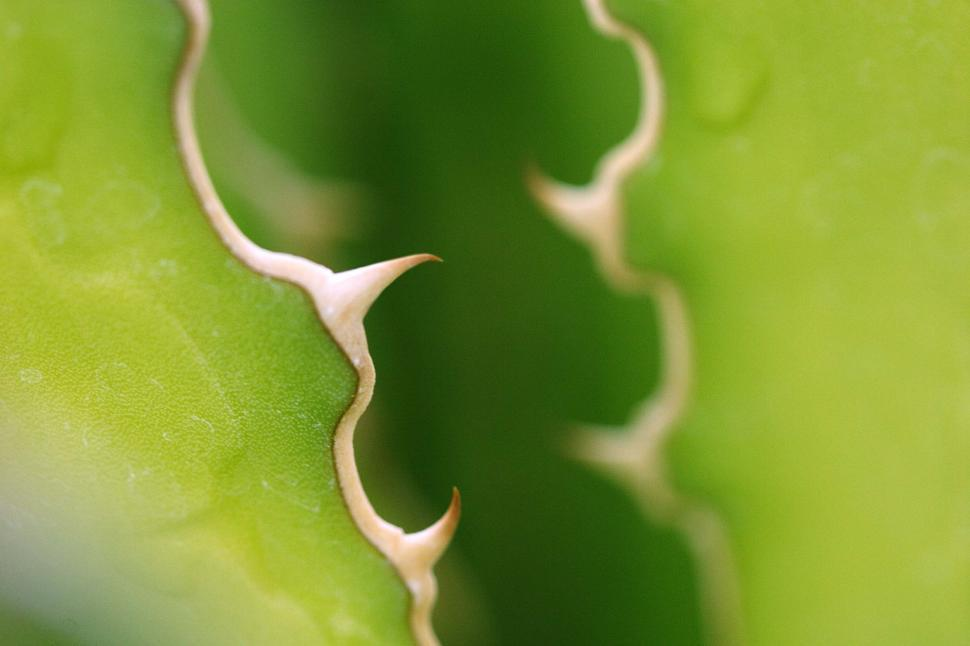 Download Free Stock HD Photo of Agave spines Online