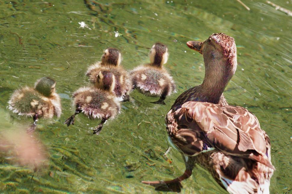 Download Free Stock HD Photo of Duck family Online