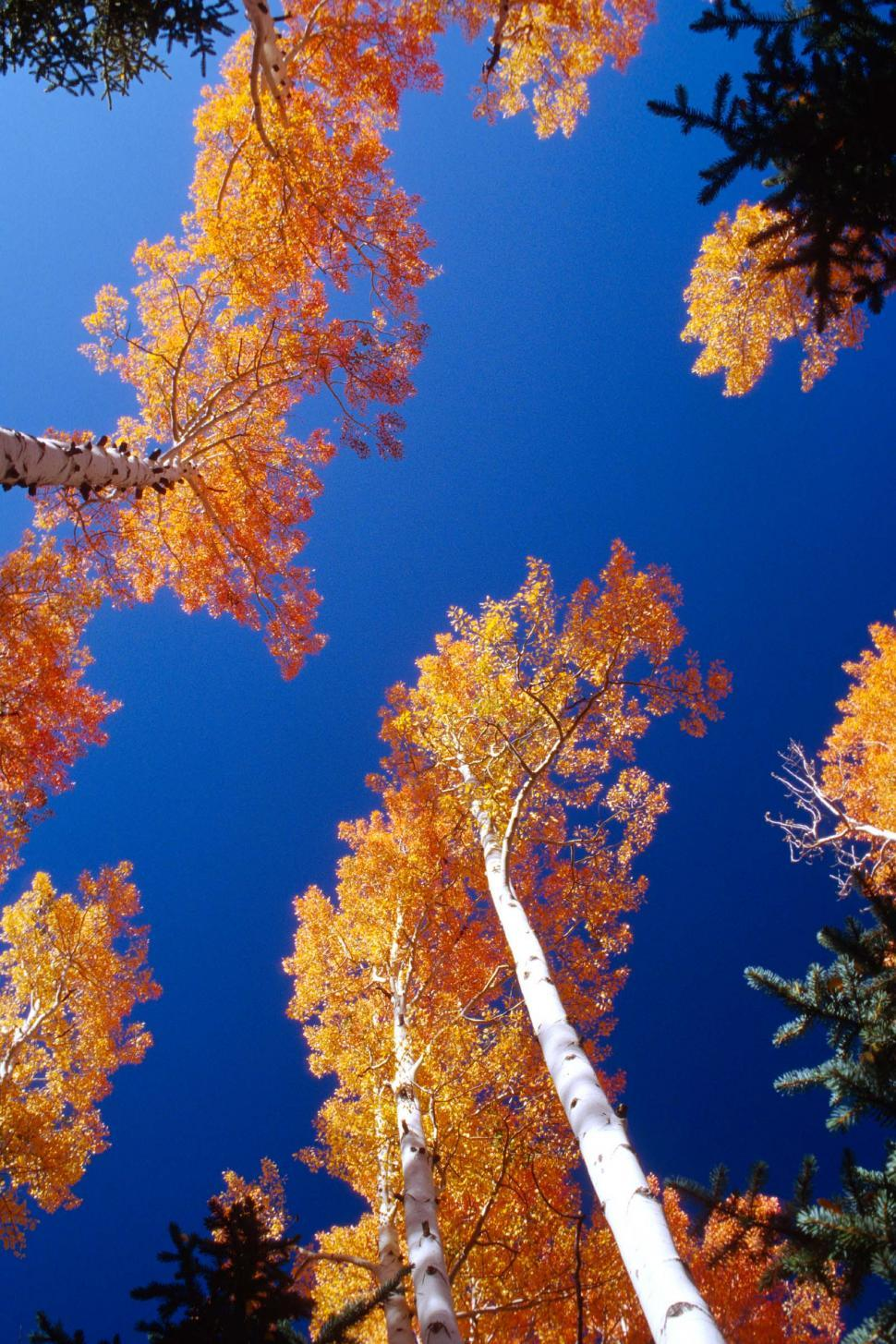 Download Free Stock HD Photo of Looking up at Aspen trees Online