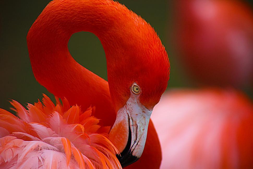Download Free Stock HD Photo of Flamingo Head Online