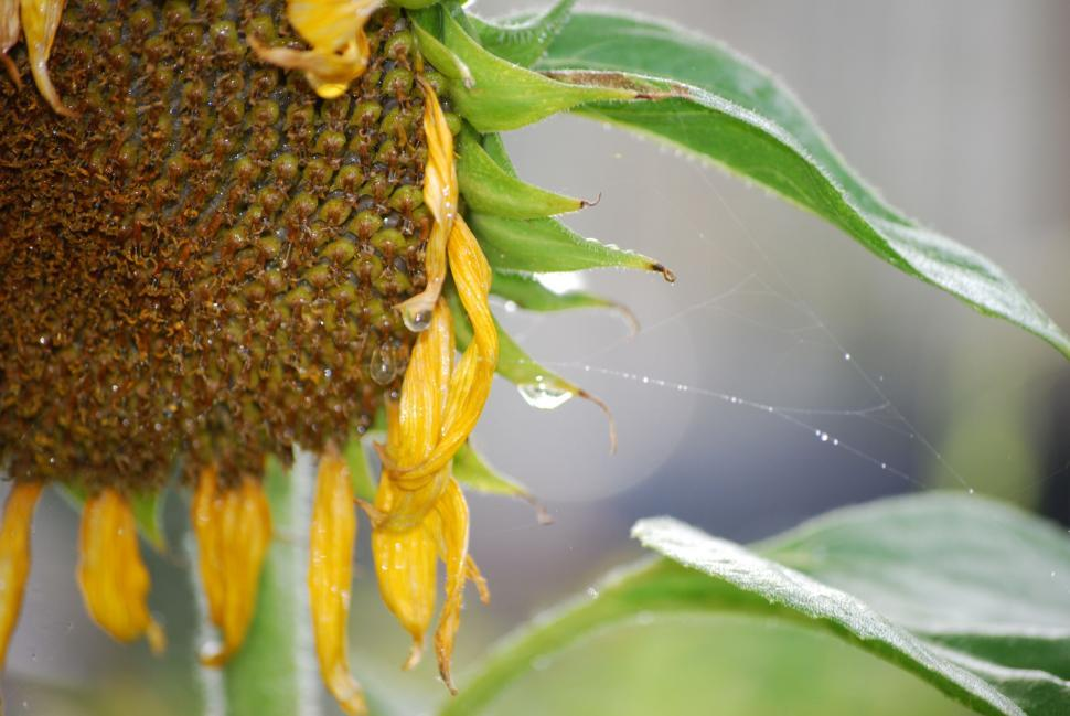 Download Free Stock HD Photo of Morning sunflower w/ dewMorning Sunflower w/ Dew Online