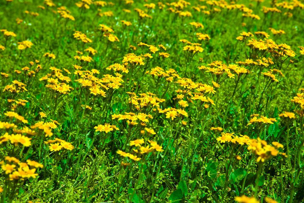 Get free stock photos of field of yellow flowers online download a field of bright yellow flowers mightylinksfo