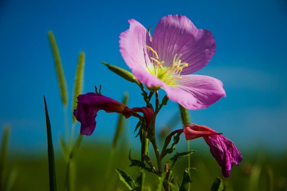 Download Free Stock HD Photo of Pink Primrose Flower Online
