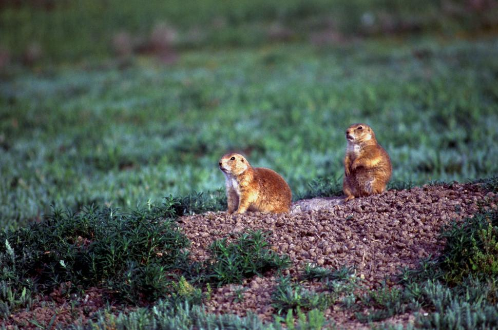 Download Free Stock HD Photo of Gophers Online