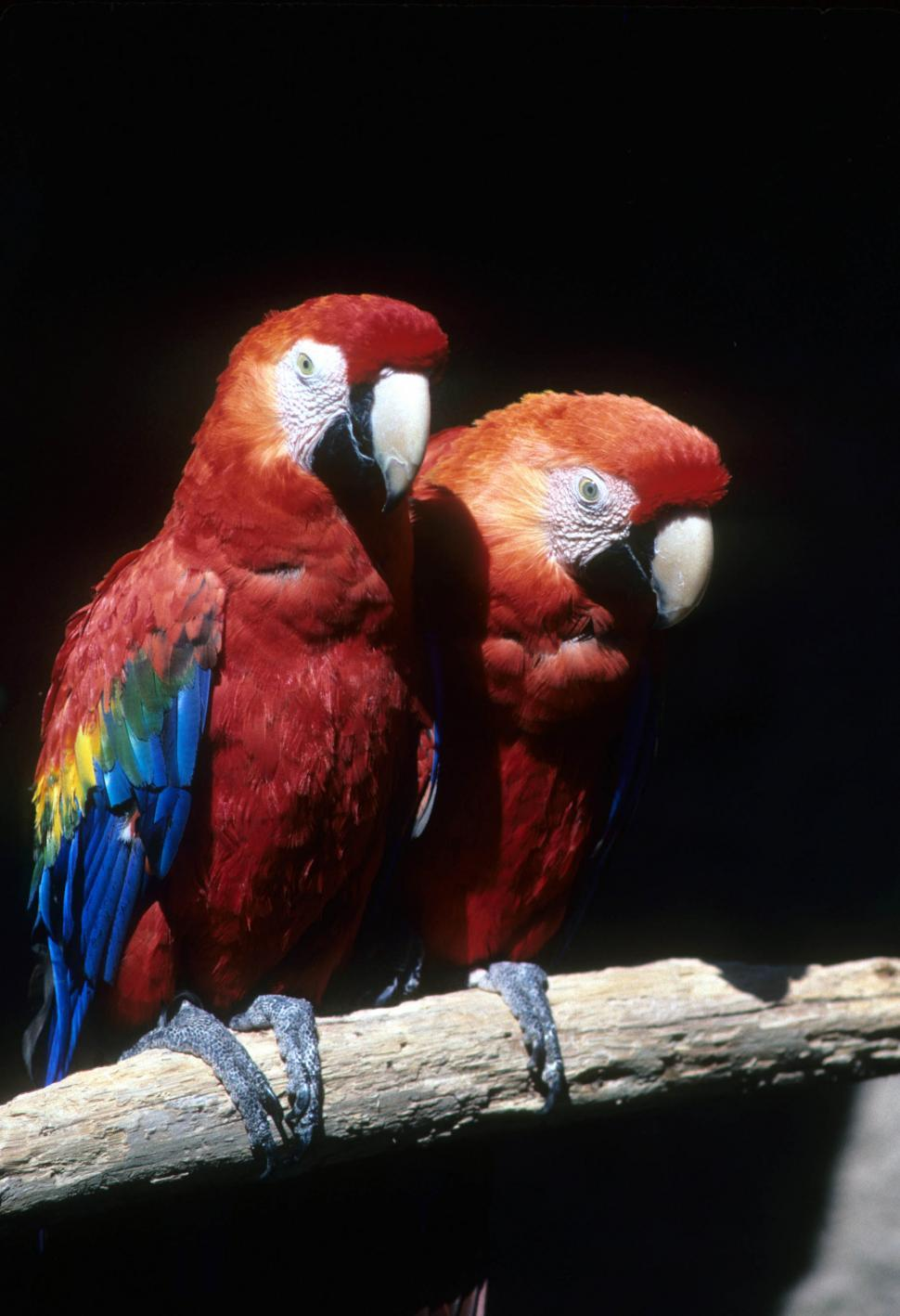 Download Free Stock HD Photo of Scarlet macaws Online