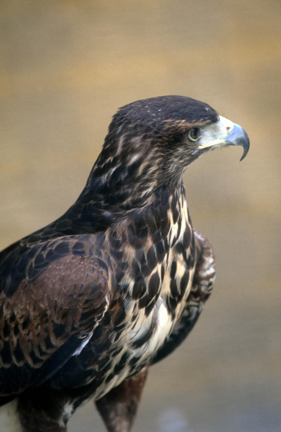 Download Free Stock HD Photo of Red tailed hawk Online