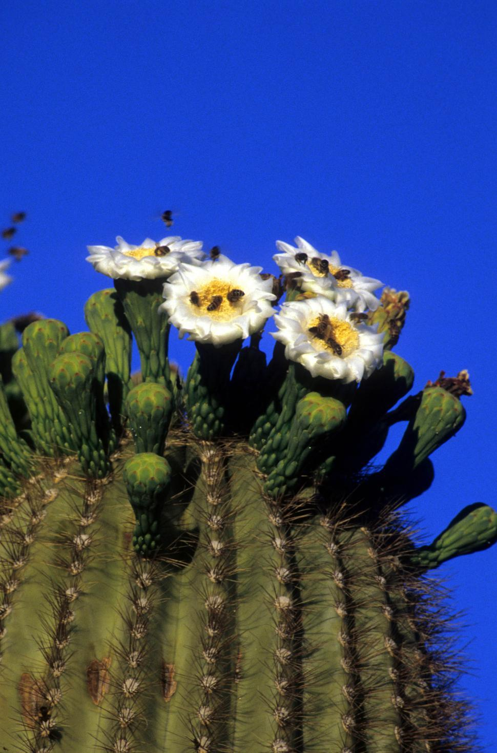 Get Free Stock Photos Of Flowering Saguaro Cactus Online Download