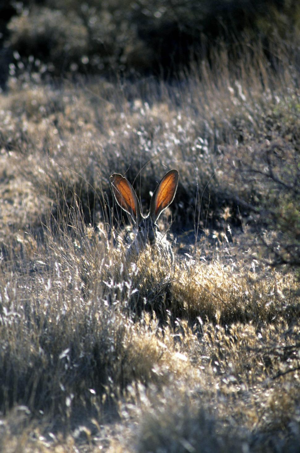 Download Free Stock HD Photo of Jack rabbit ears Online