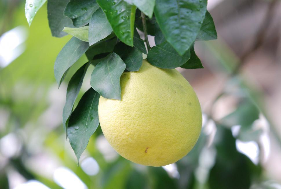 Download Free Stock HD Photo of Grapefruit tree Online