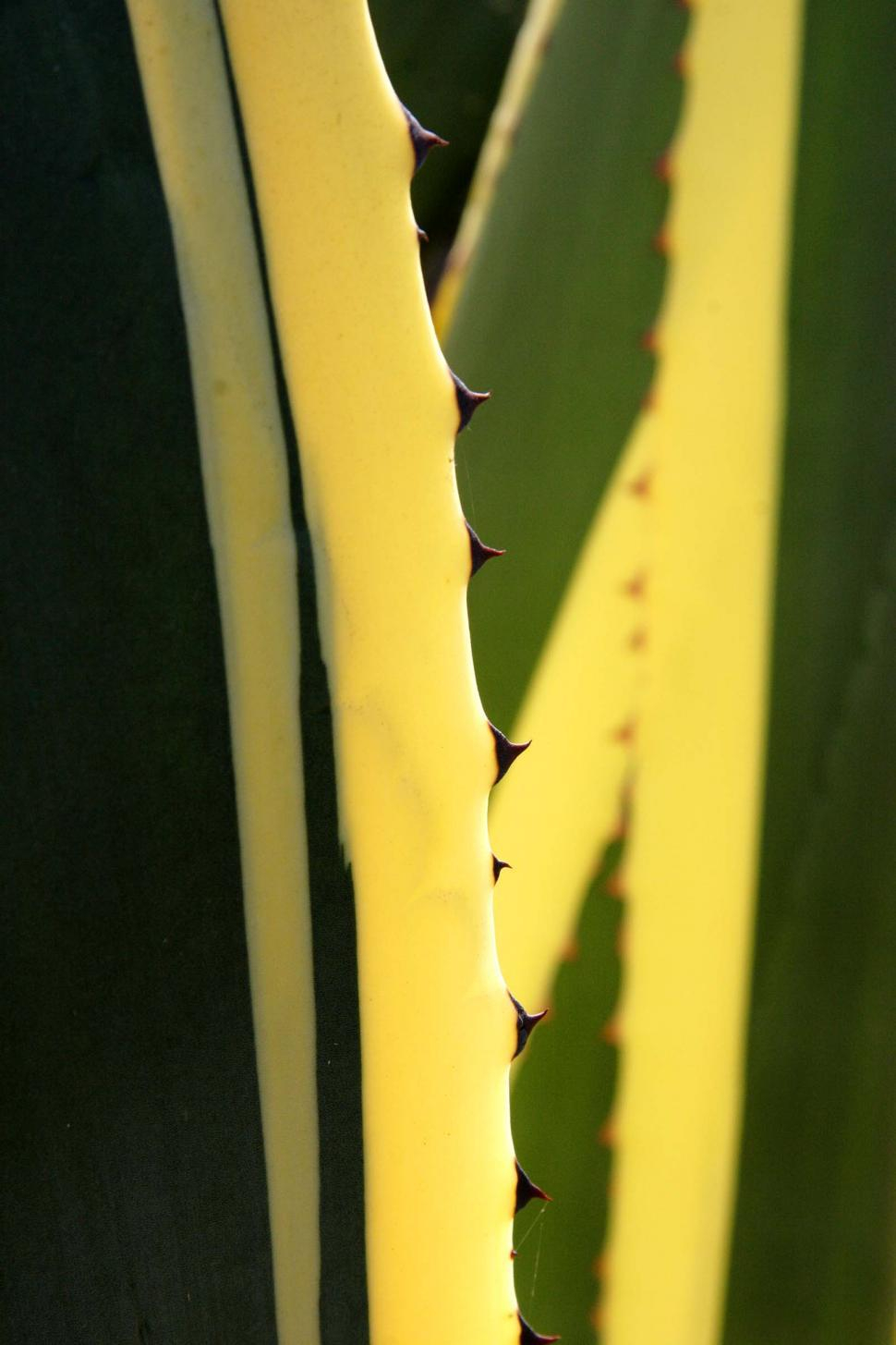 Download Free Stock HD Photo of Spines of an agave Online
