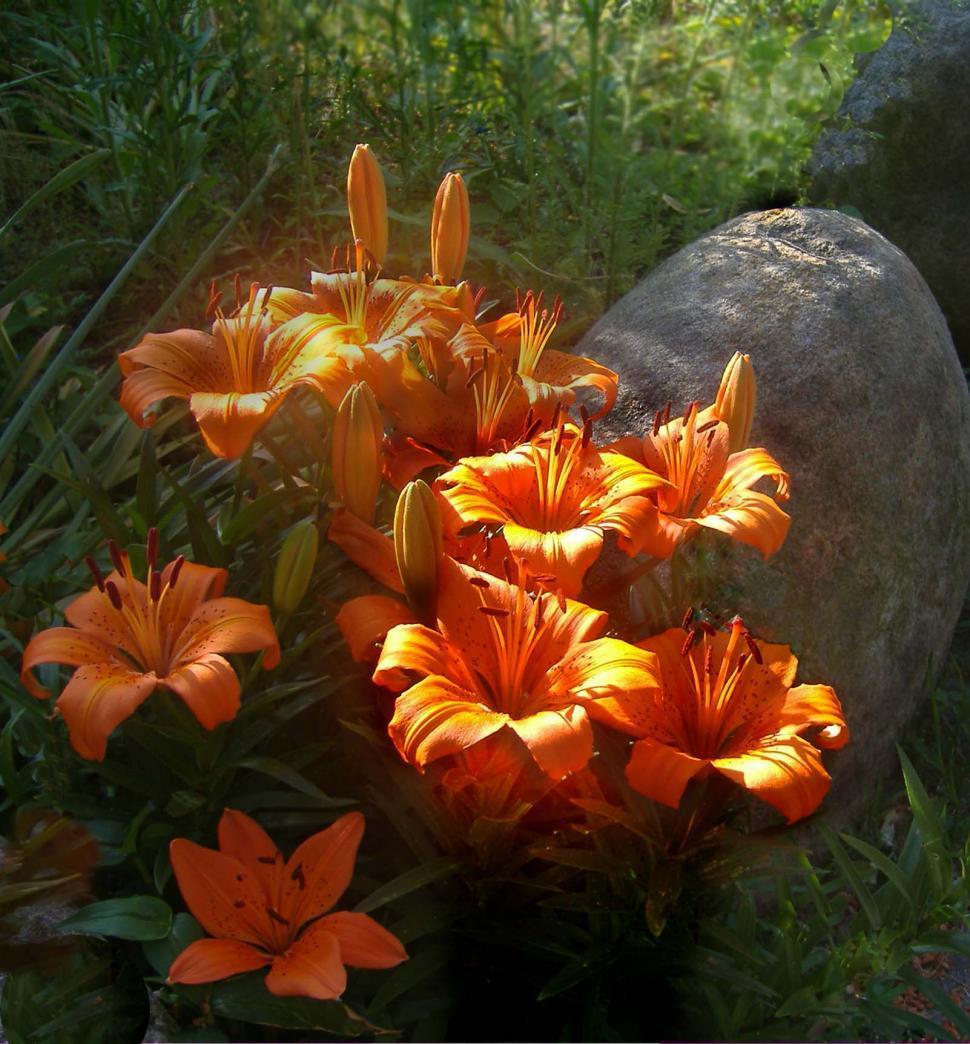 Download Free Stock HD Photo of Orange Daylilies Online