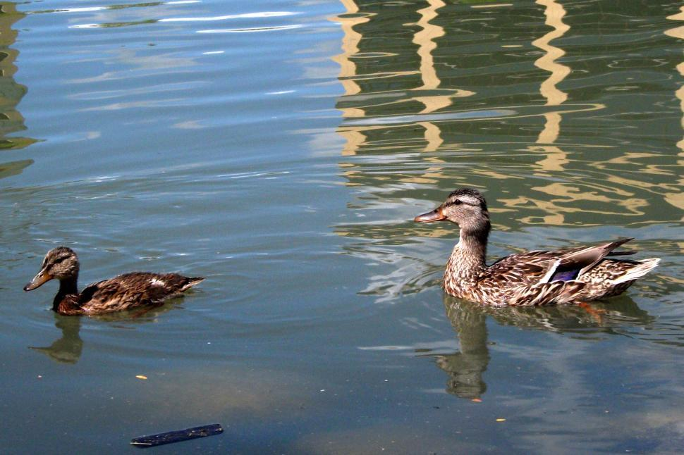Download Free Stock HD Photo of Mother duck with duckling Online