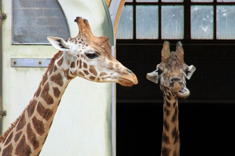 Download Free Stock HD Photo of Giraffes Online