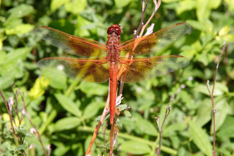 Download Free Stock HD Photo of red dragonfly Online